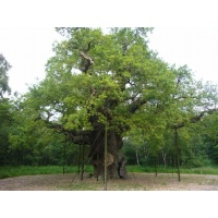 O Gran Carballo - The Major Oak