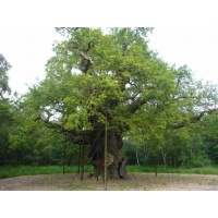 O Gran Carballo - The Major Oak - 01