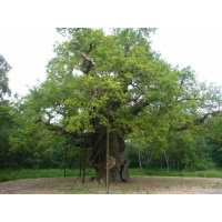 O Gran Carballo - The Major Oak - 02