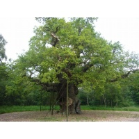 O Gran Carballo - The Major Oak - 03