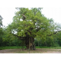 O Gran Carballo - The Major Oak - 04