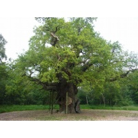 O Gran Carballo - The Major Oak - 07
