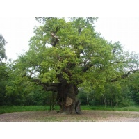 O Gran Carballo - The Major Oak - 10
