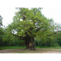O Gran Carballo - The Major Oak - 11